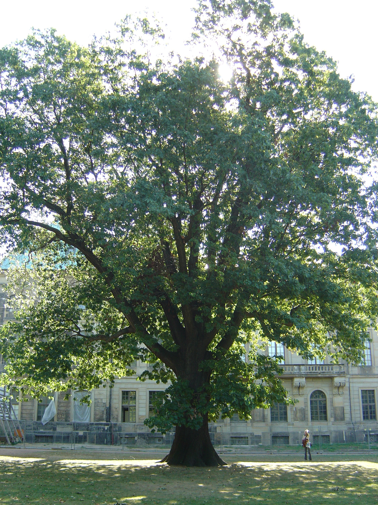 Northern Red Oak ~ Quercus rubra