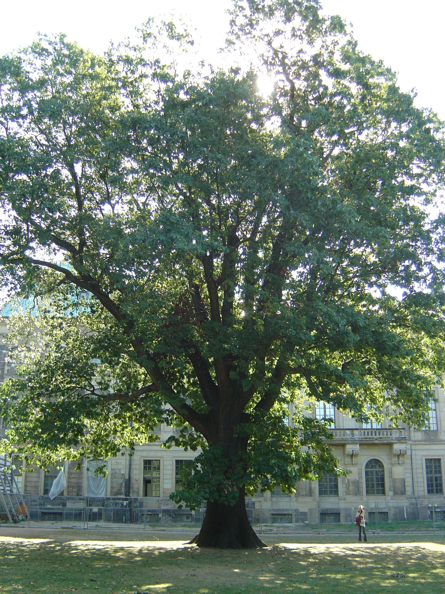 Quercus rubraQuercus Rubra