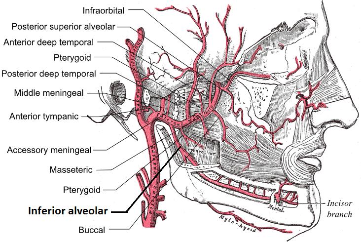 Inferior alveolar artery