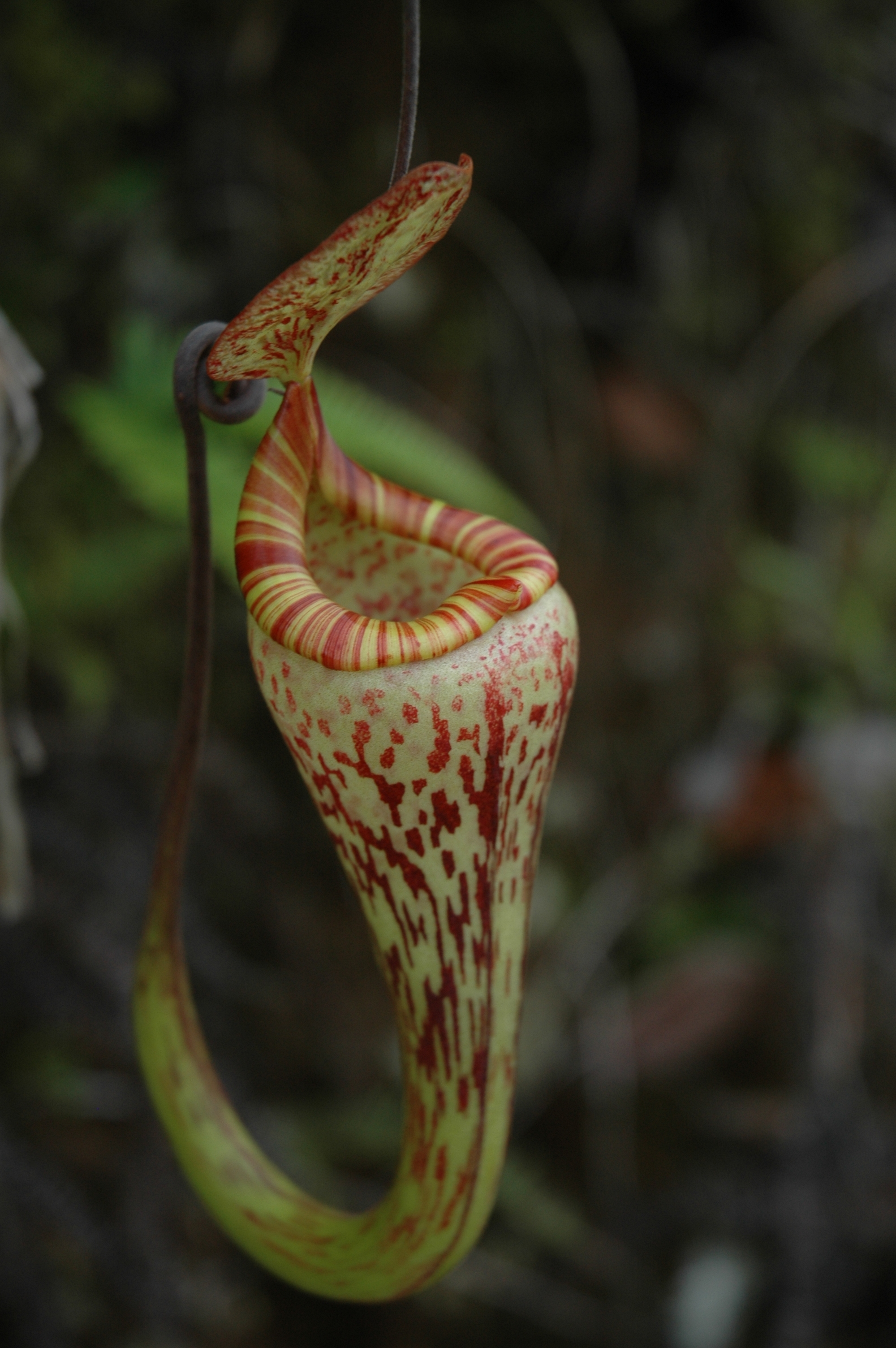 Nepenthes vogelii for Plante carnivore
