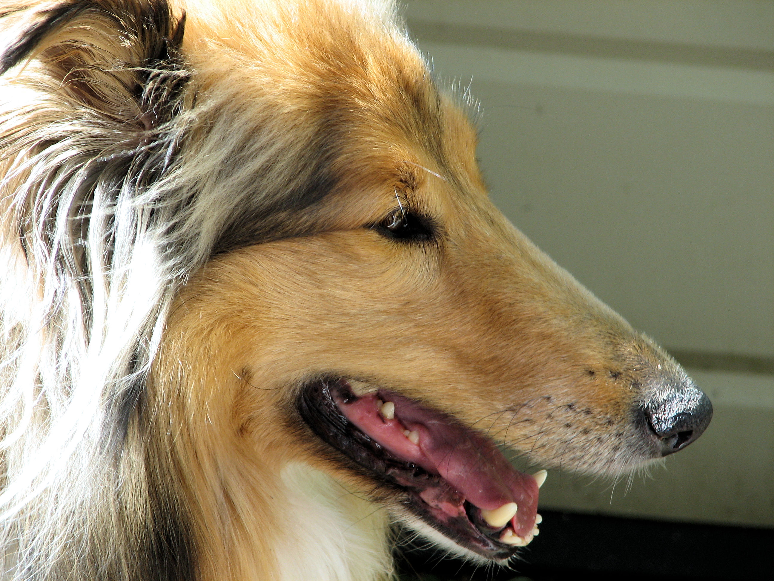 Dog Breed With Typically Black Snout