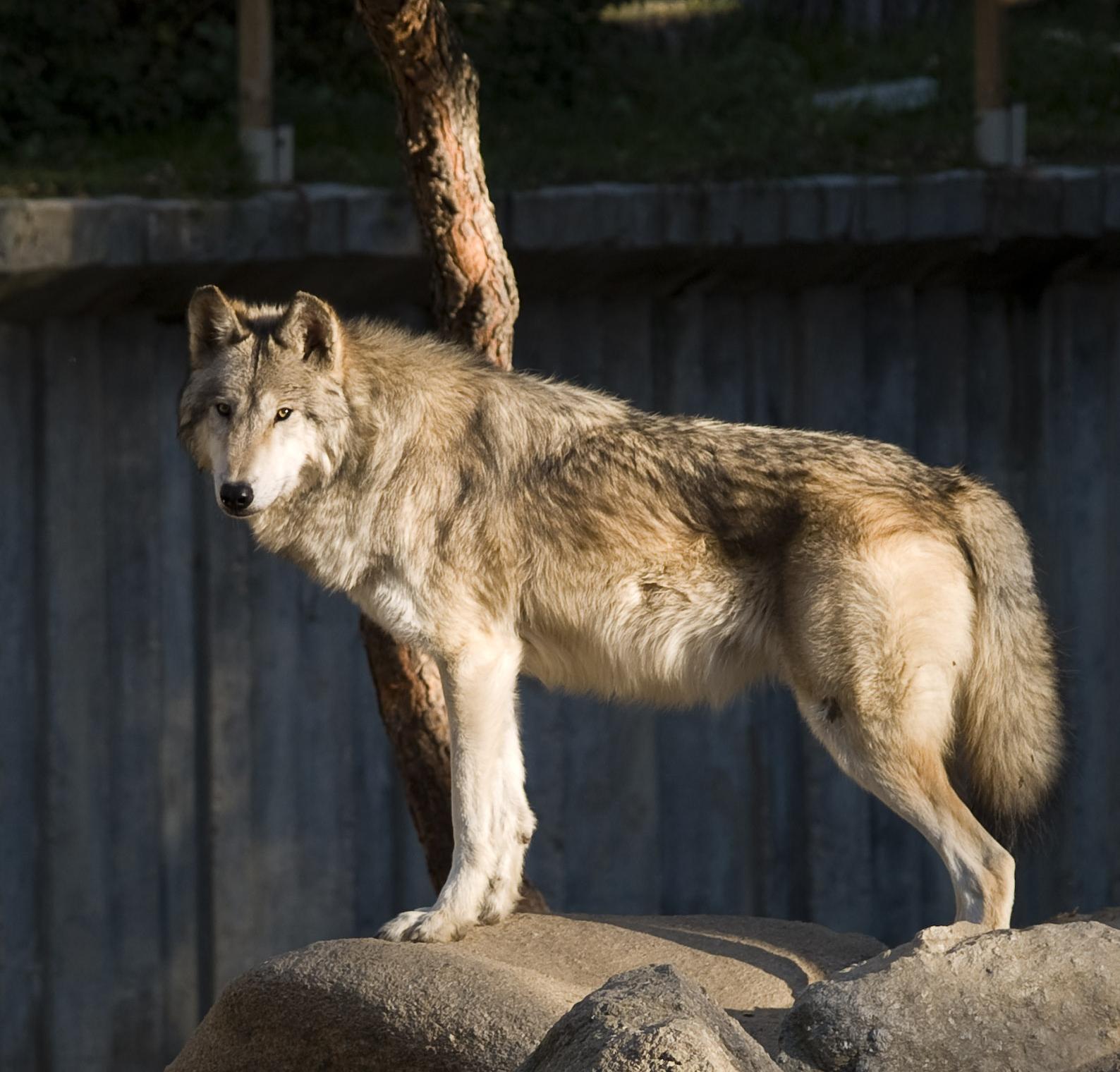 Mackenzie valley wolf - photo#7