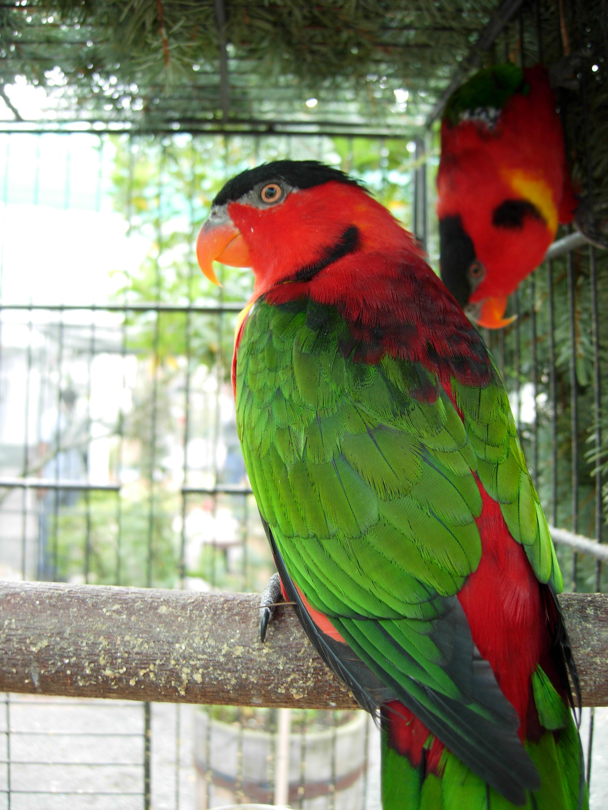 Внешний вид: Длина попугая 30 см. Окраска оперения красная.