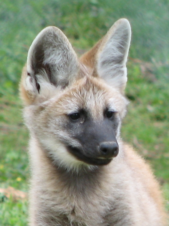 Maned wolf for Male urine smells like fish