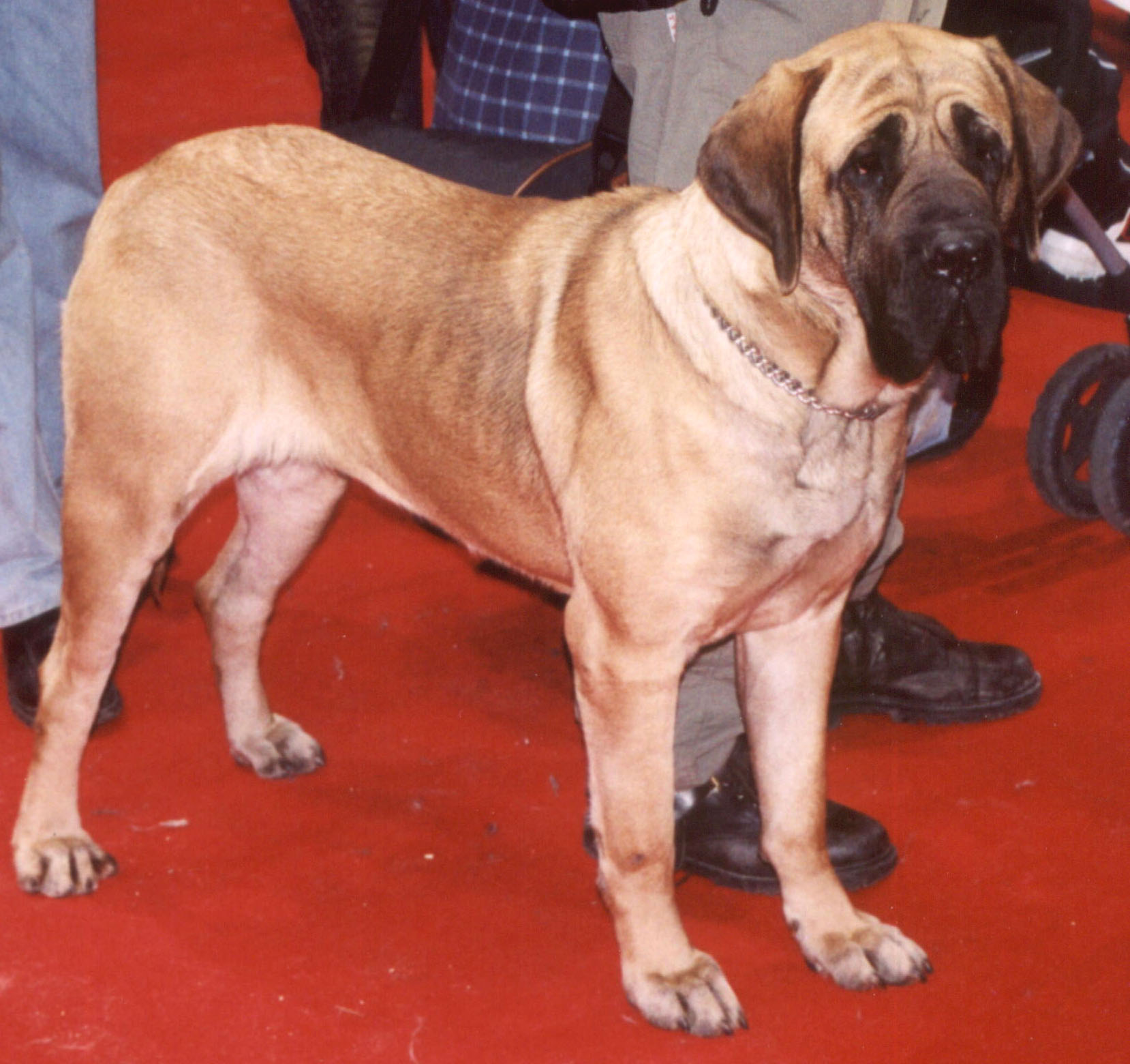 Fila Brasileiro , showing the typical molosser build.