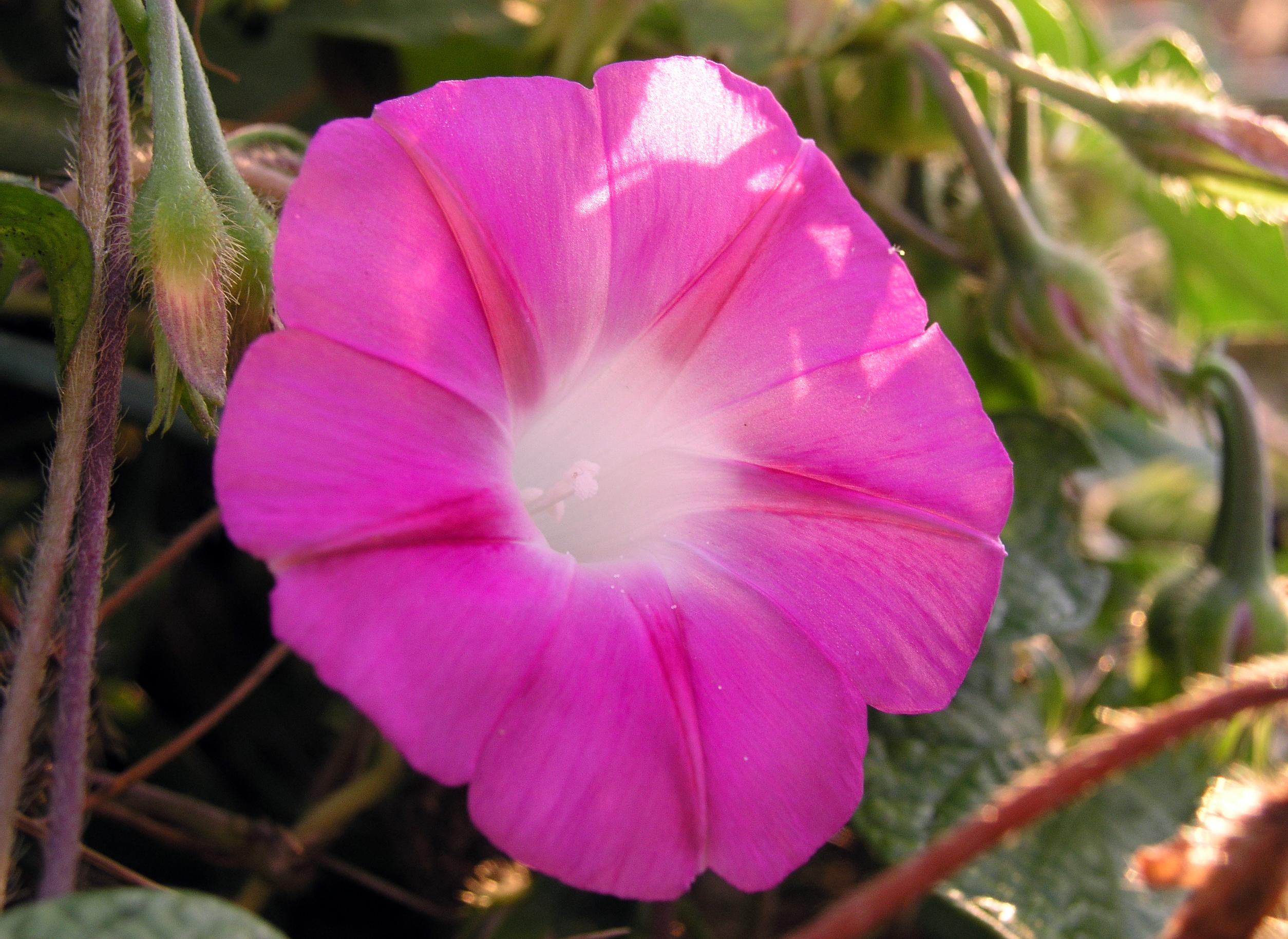 Pink Ipomoea purpurea