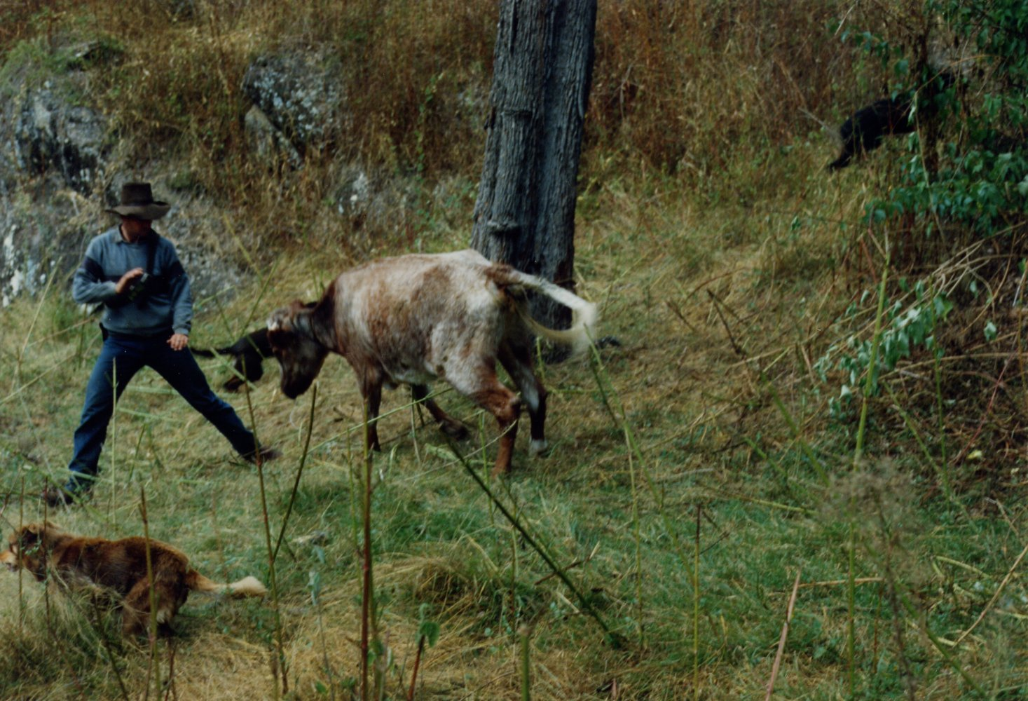 Hunting Dogs For Sale Nsw
