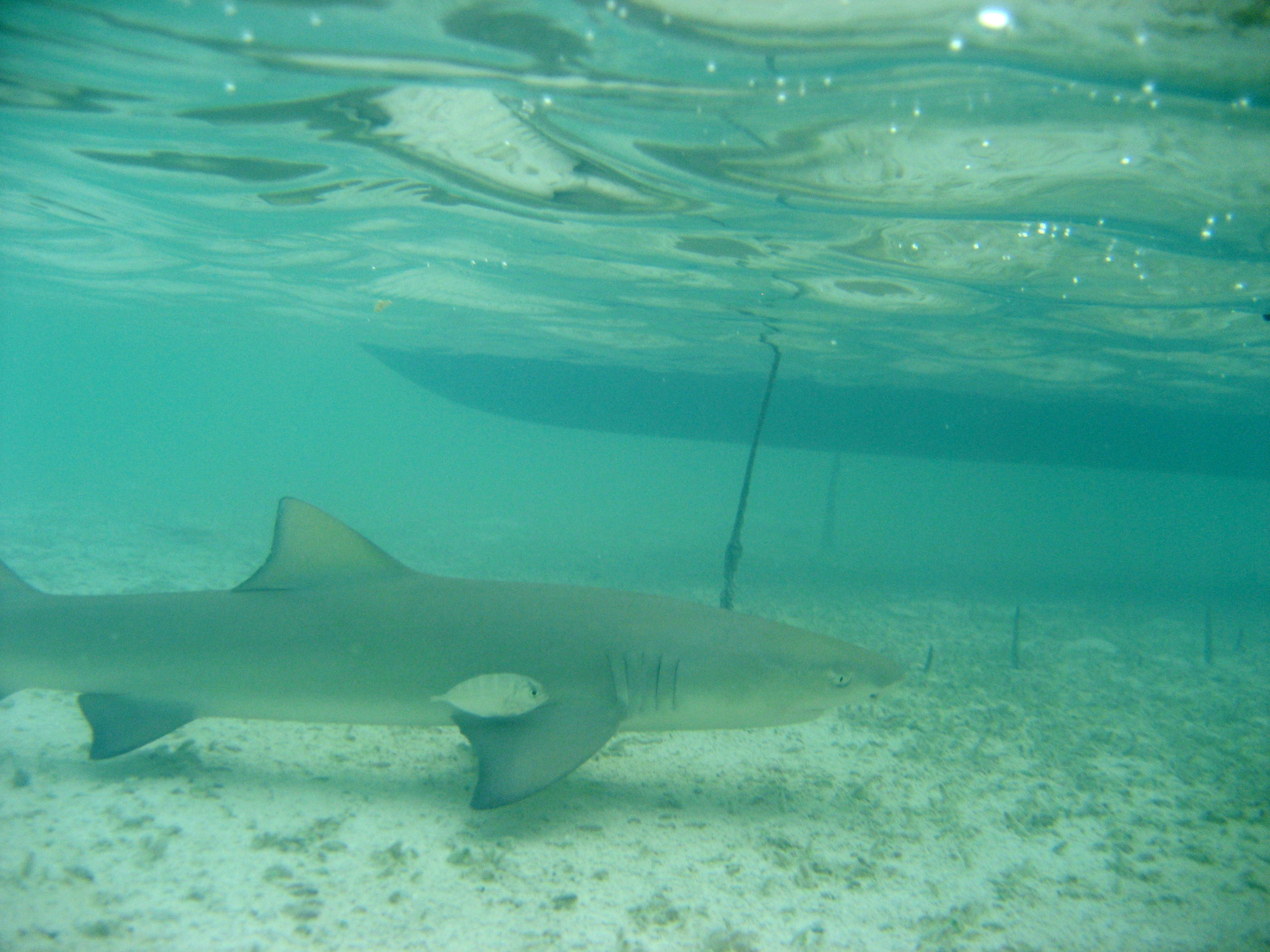 a study on the reproduction of the lemon shark of the bimini islands But, compared with other species of shark, lemon sharks are selective about their social circles they're much more likely to pal around with sharks their own size, said jean-sebastien finger , a biologist at the bimini field station.