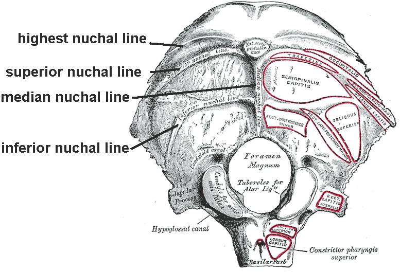Nuchal Lines