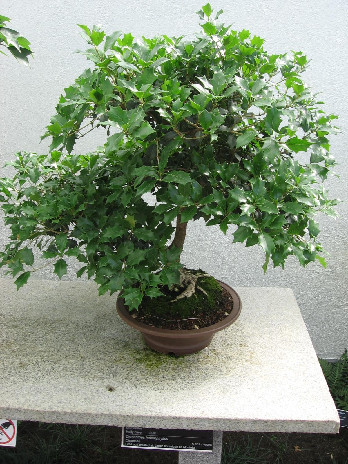Комнатный цветок бонсай