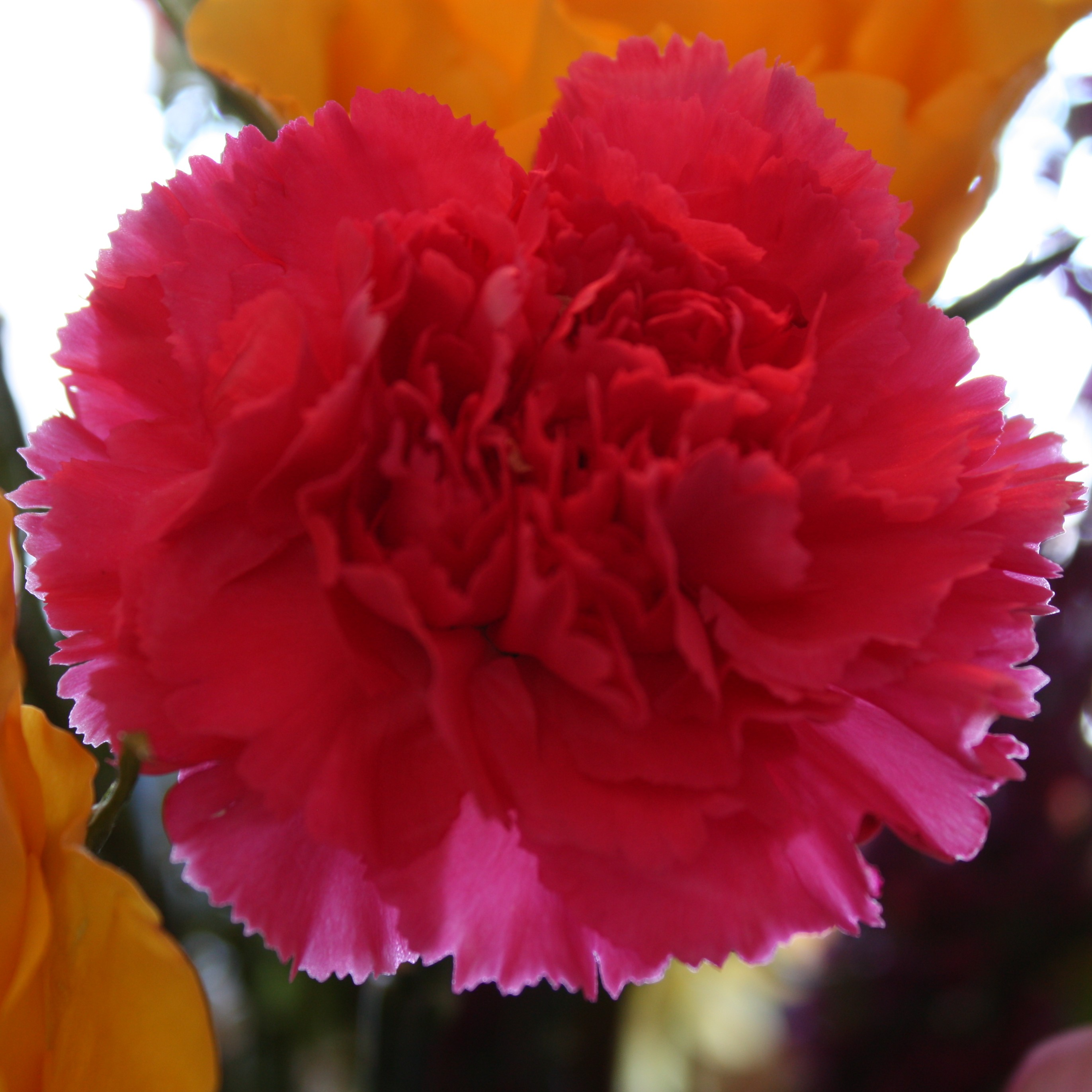 Dianthus caryophyllus this is a carnation that is commonly found in bouquets biocorpaavc