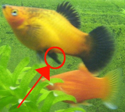 Picture Of Pregnant Platy 46