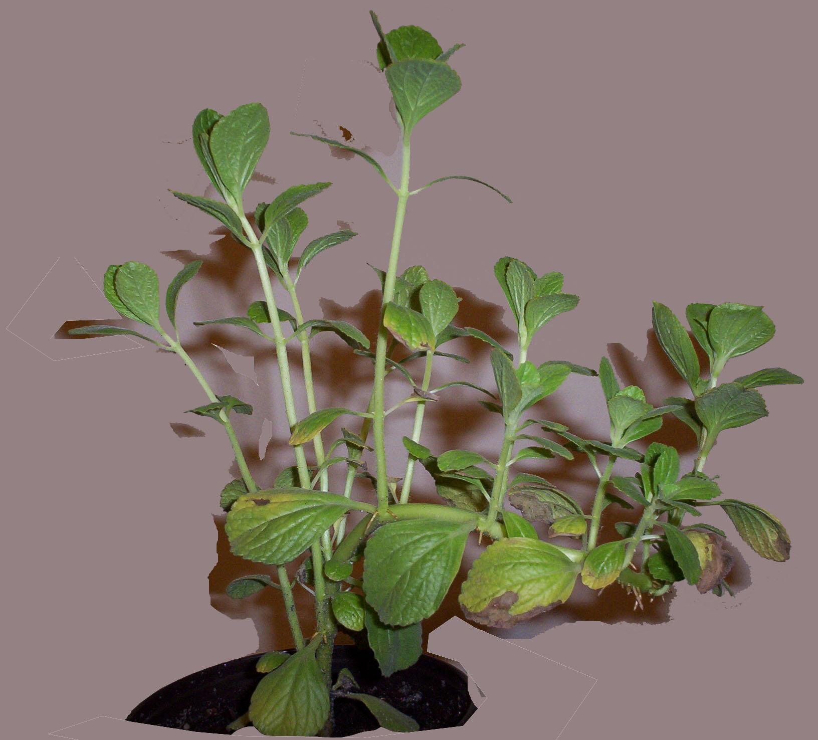 plectranthus caninus. Black Bedroom Furniture Sets. Home Design Ideas
