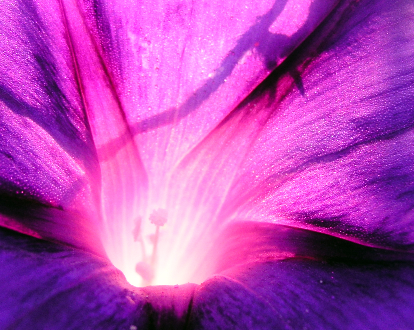 Purple Ipomoea purpurea close-up