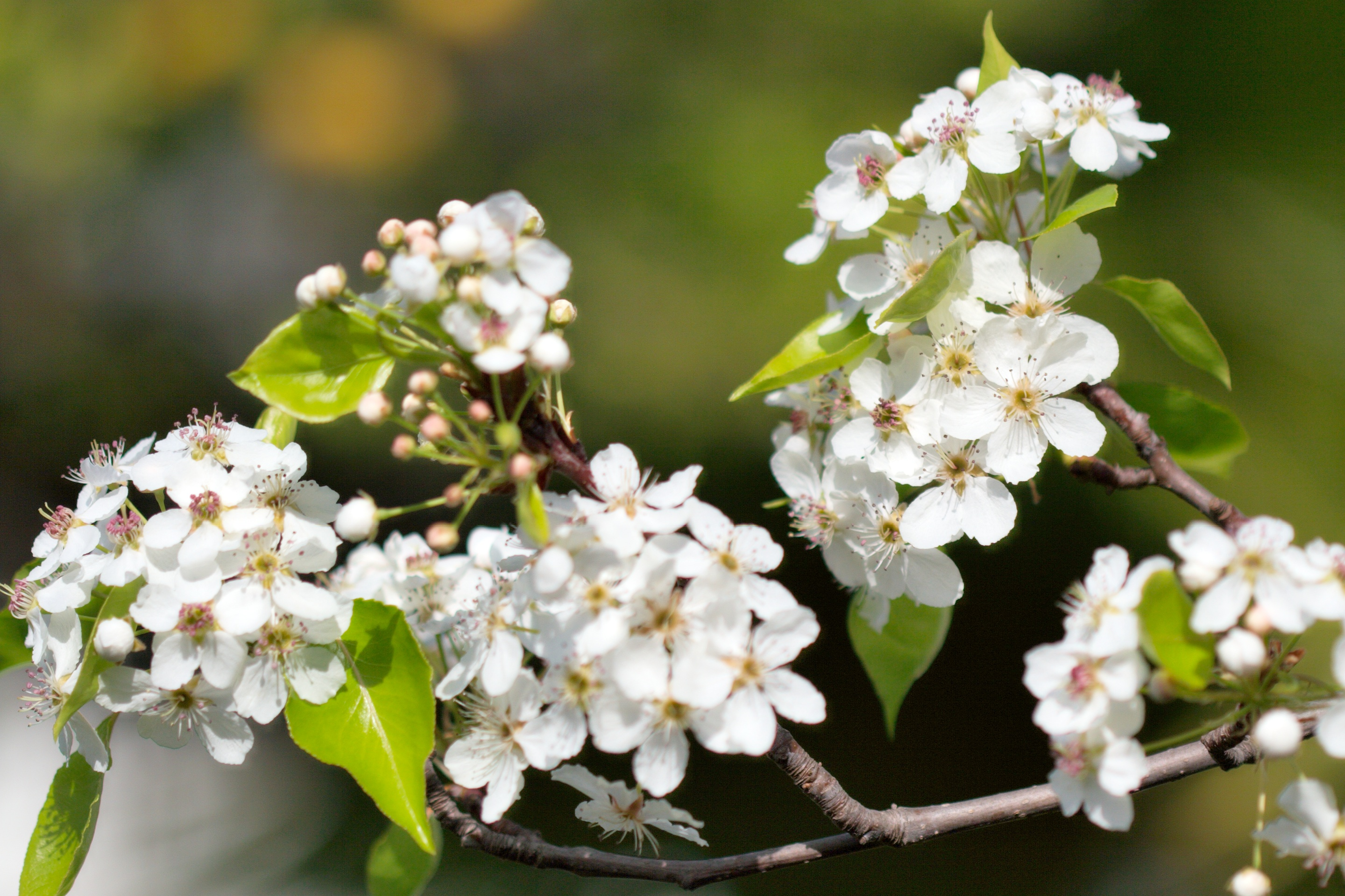 Flowering Pear Tree Smell Flowers Ideas What Has White In The Spring