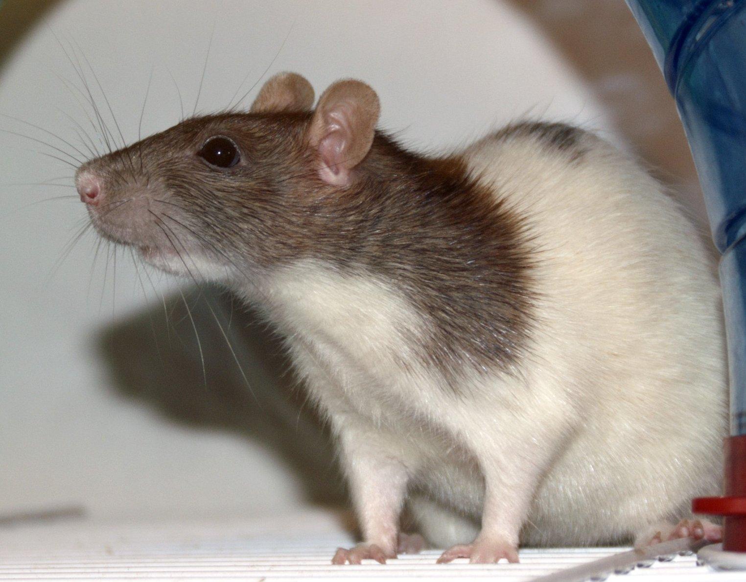 Fancy rats as pets - photo#30