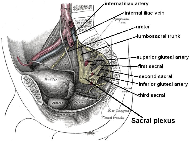 Berühmt Sakral Anatomie Fotos - Menschliche Anatomie Bilder ...