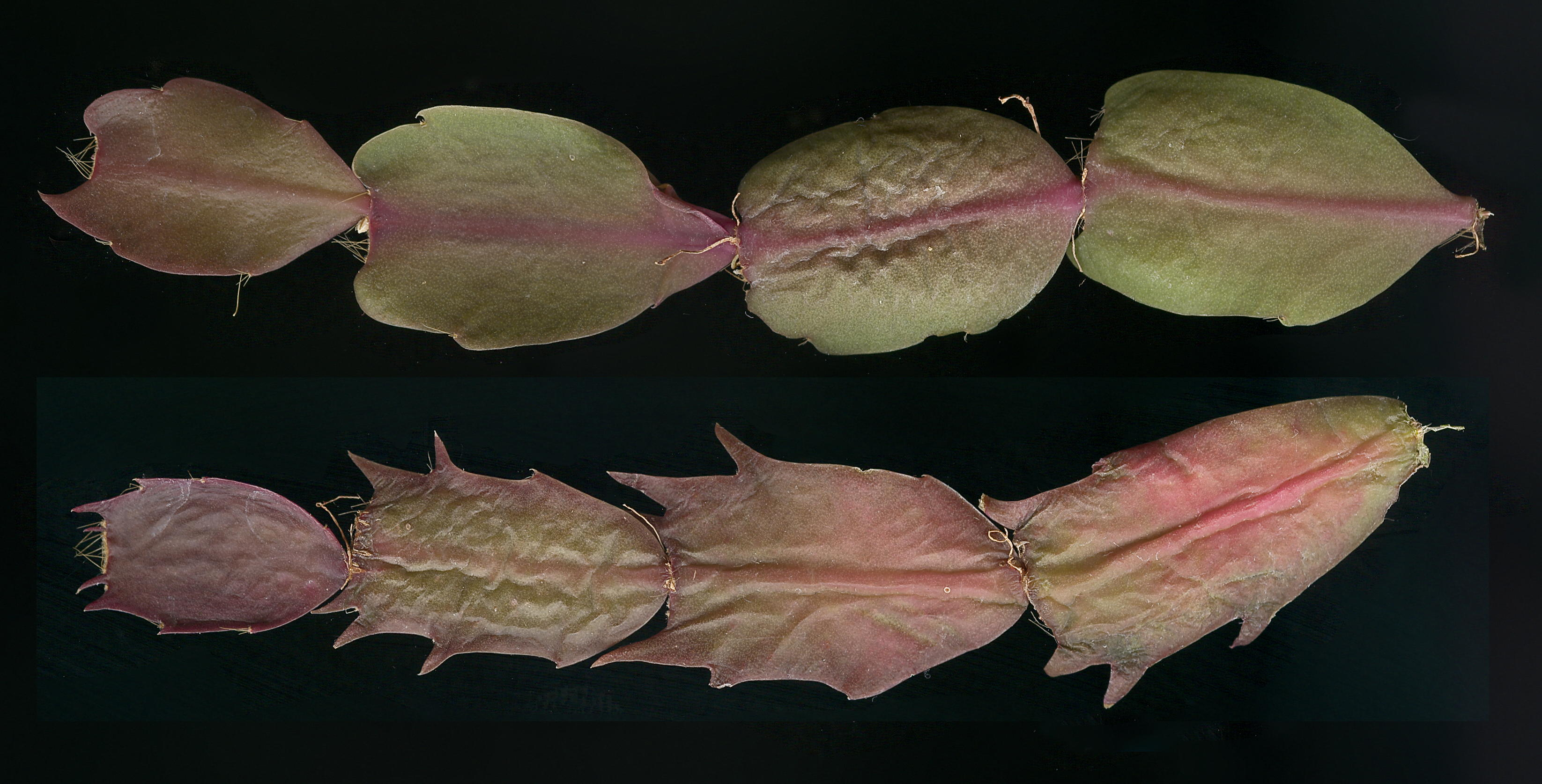 Variation in stem shapes in Schlumbergera cultivars: