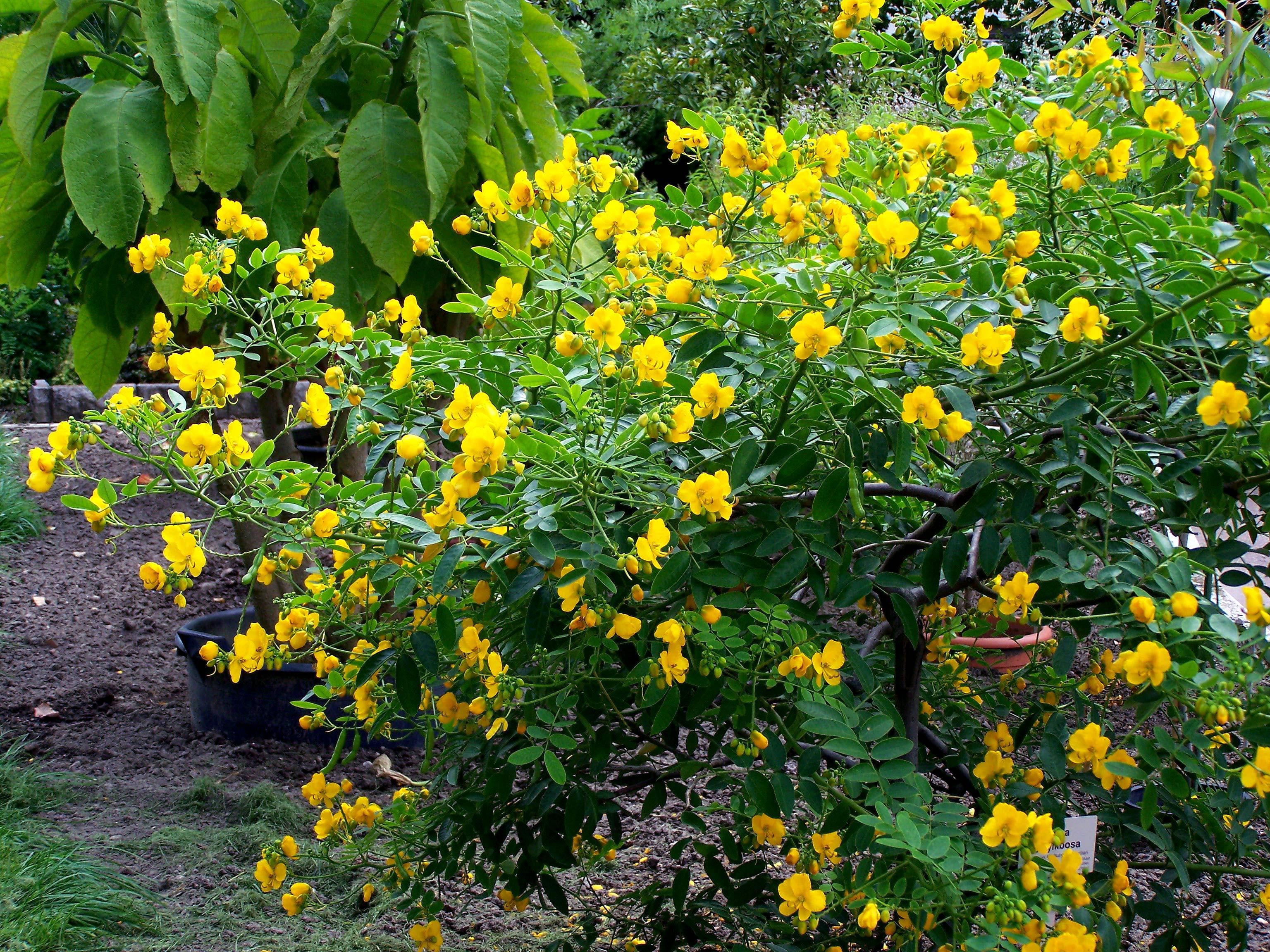 Margaritas De Colores En La Hierba 30995: Senna Corymbosa