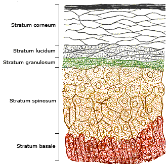 Showing the stratum corneum