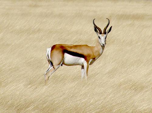 image_caption = Springbok in Etosha National Park , Namibia