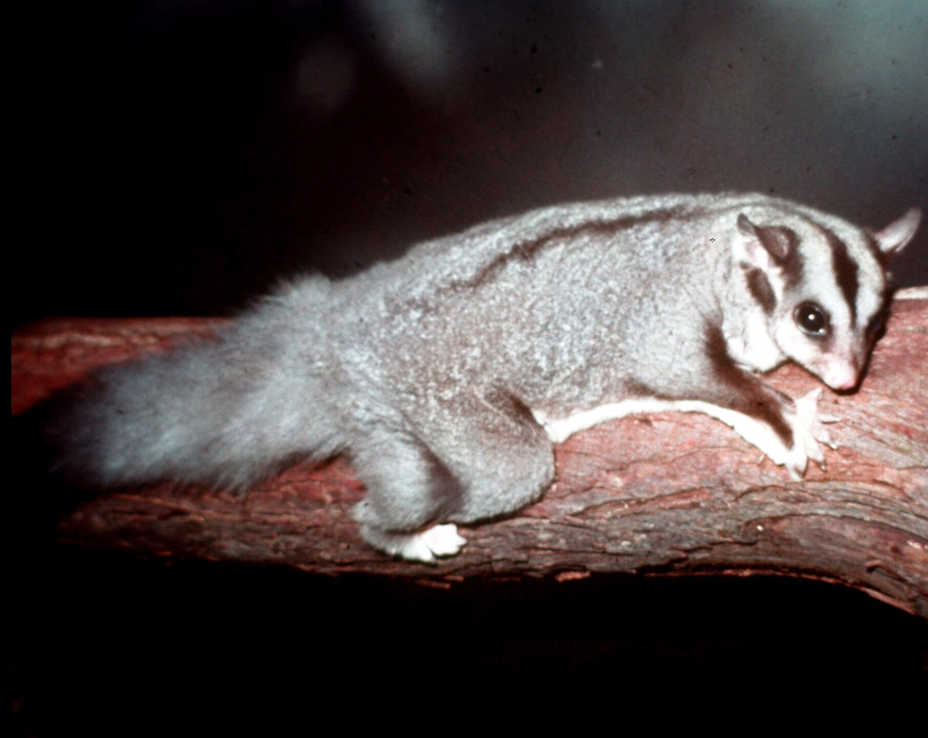 squirrel glider at lone pine jpg