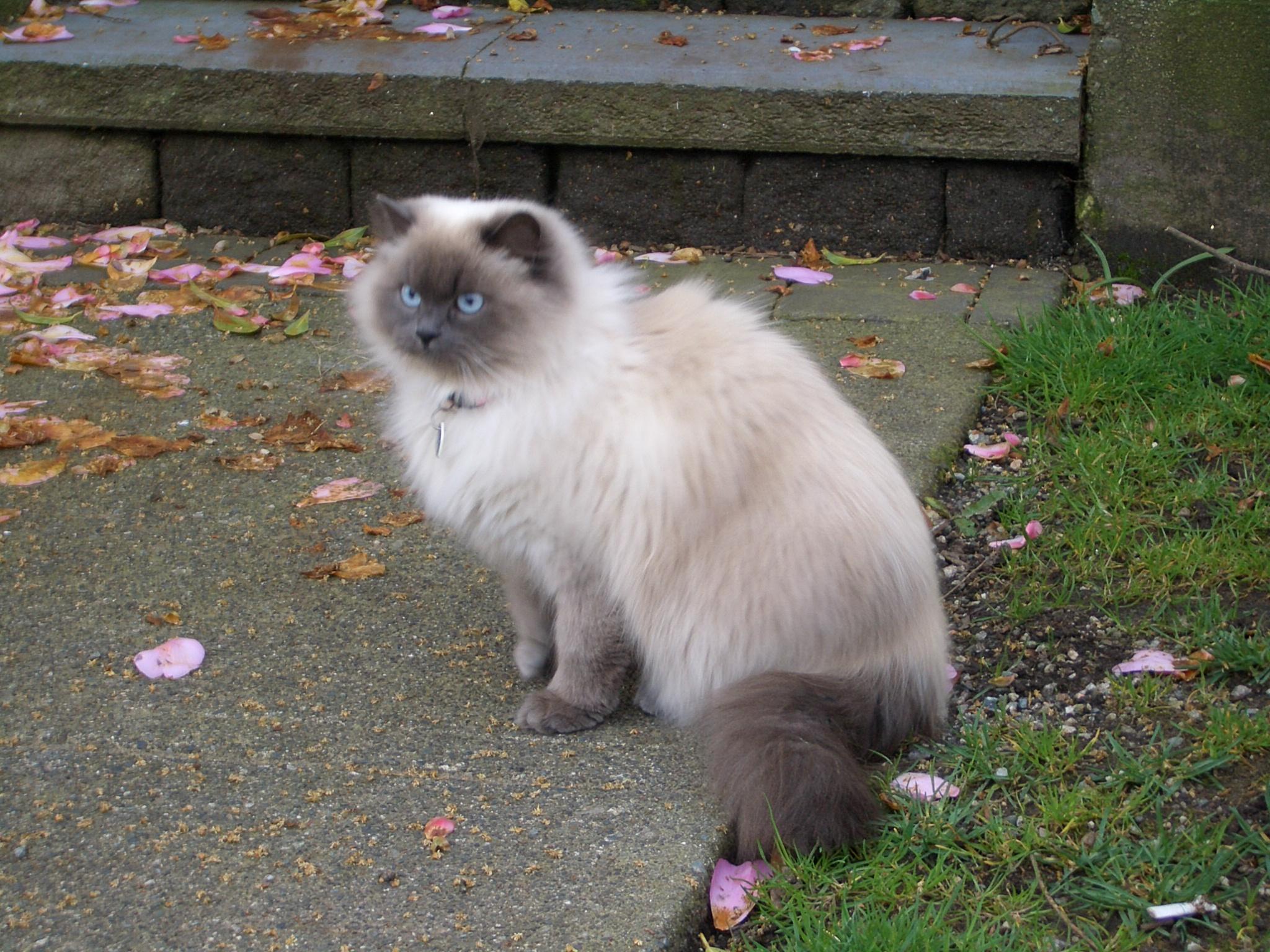 Blue Tip Himalayan Cat