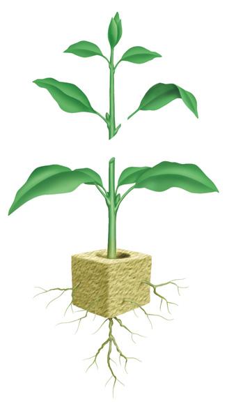 Размножение стеблевыми черенками является наиболее популярным способом размножения комнатных растений.
