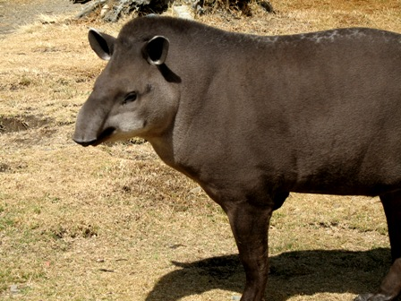 latest images of lowland tapir in rainforest