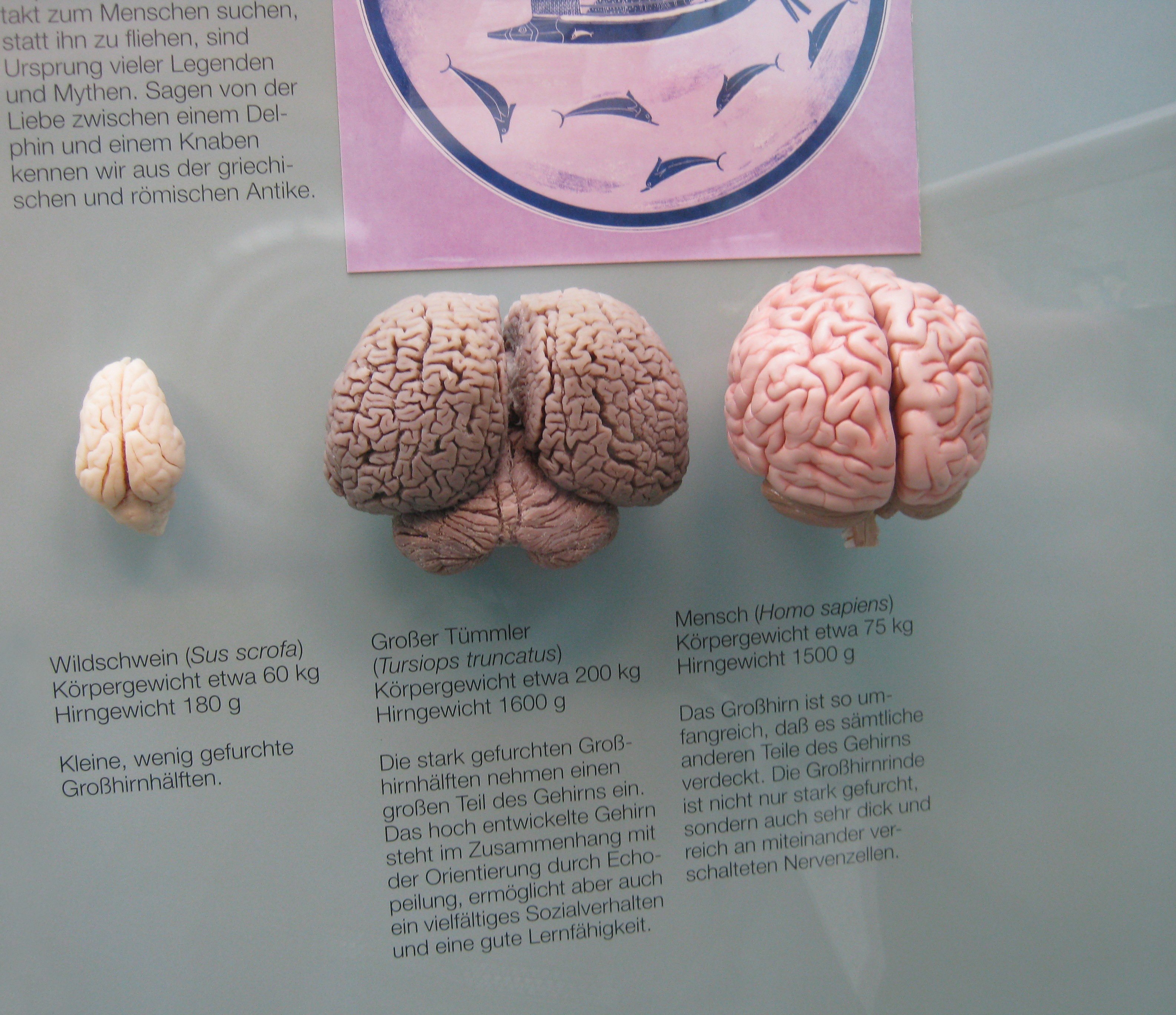 intelligence vs brain size Humans boast the biggest brains, relative to body size brain size seems to have nothing to do with scores on standardized intelligence tests, according to a brain.