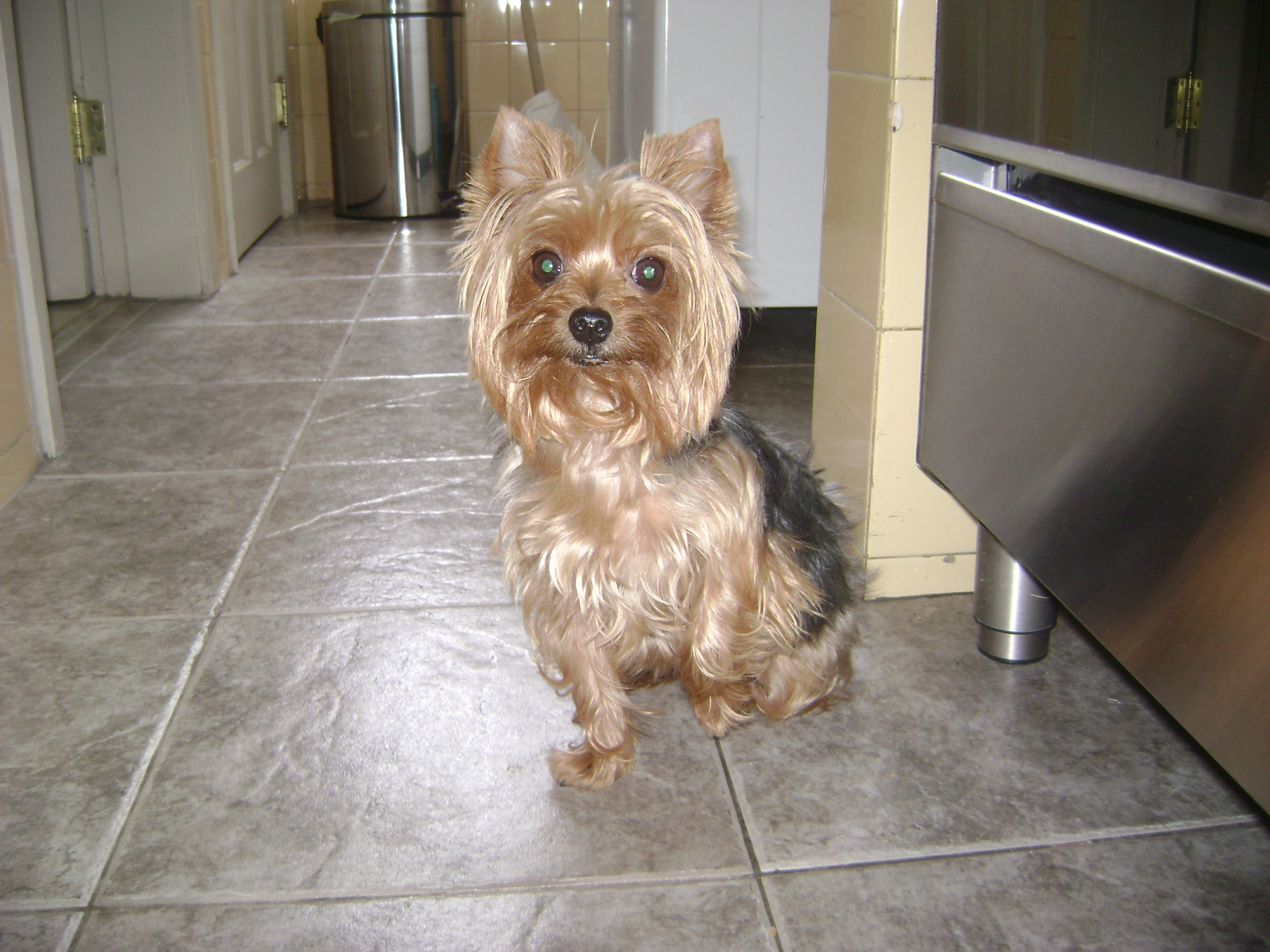 Papillon Yorkie Mix A three year old yorkie