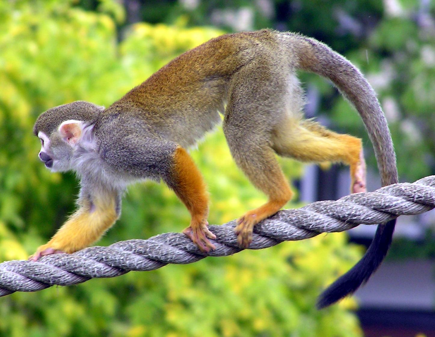 Squirrel monkey pet attack